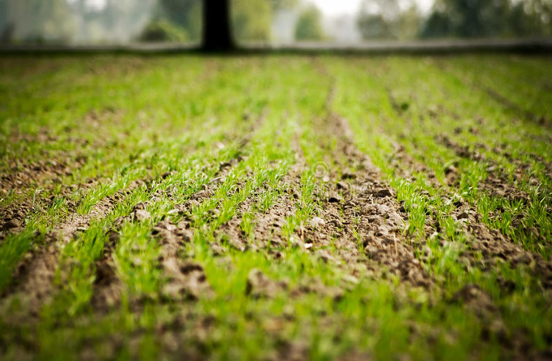 Download Rye field stock photo. Image of polish, grain, agriculture - 24753234