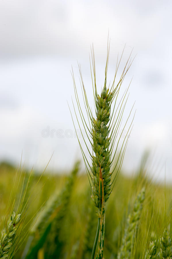 Download Rye field stock image. Image of vertical, blade, grain - 26917059