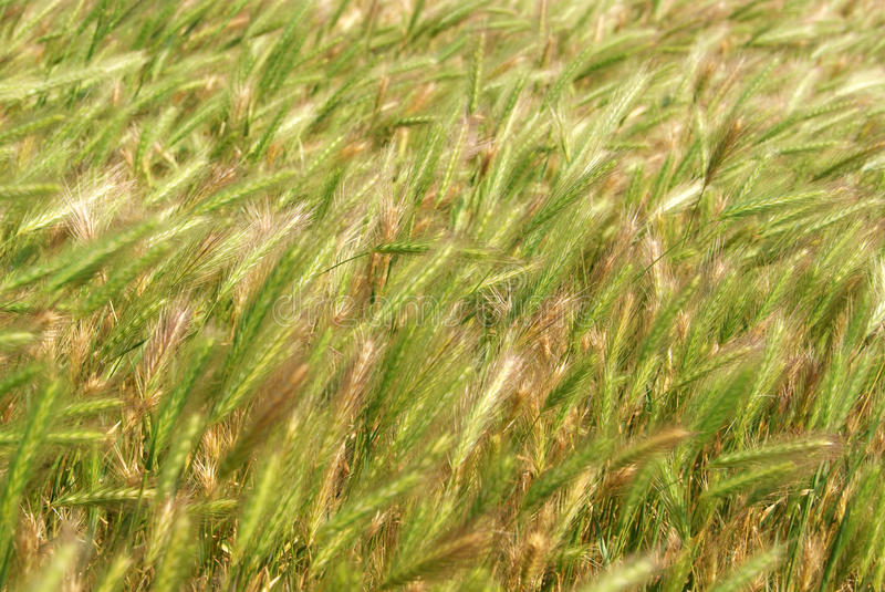 Download Rye Field stock photo. Image of green, food, nature, peasant - 29460700
