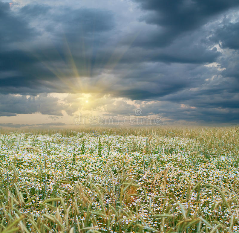 Free Rye Field And Sunset Royalty Free Stock Photos - 16038328