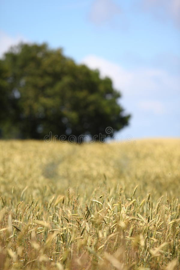 Rye on a field. Rye and grass on a field with soft background royalty free stock photos
