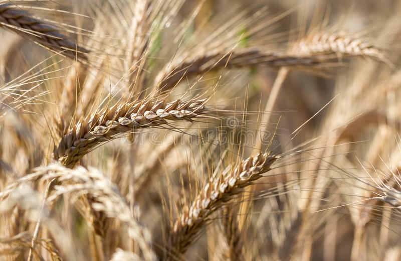 Rye field before harvest royalty free stock photos