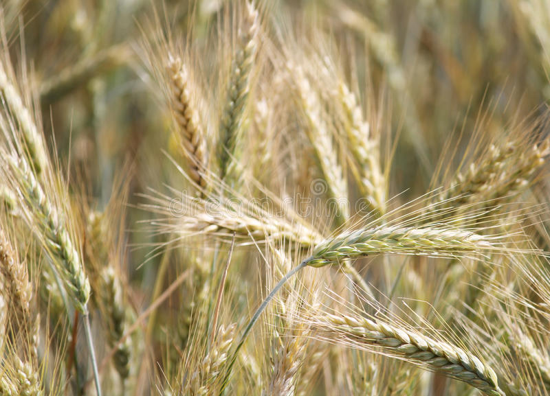 Download Rye field stock image. Image of farm, nature, detail - 32115611