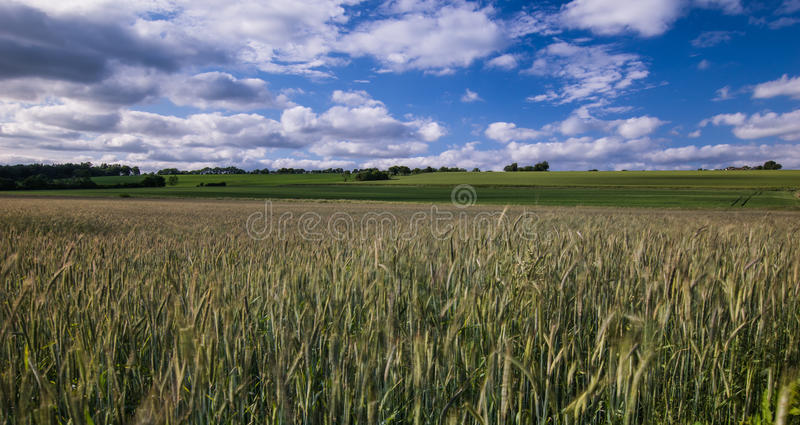 Rye royalty free stock images