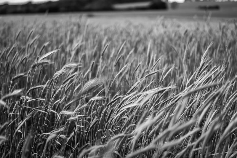 Rye stock images