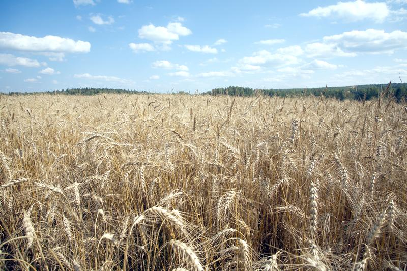 Rye field under blue sky with clouds on summer day closeup. Beautiful landscape with lot ears of rye on rural field under blue sky with white clouds on sunny royalty free stock images