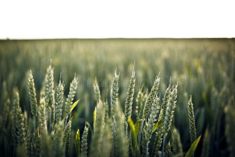 Rye Grass In Field Free Public Domain Cc0 Image