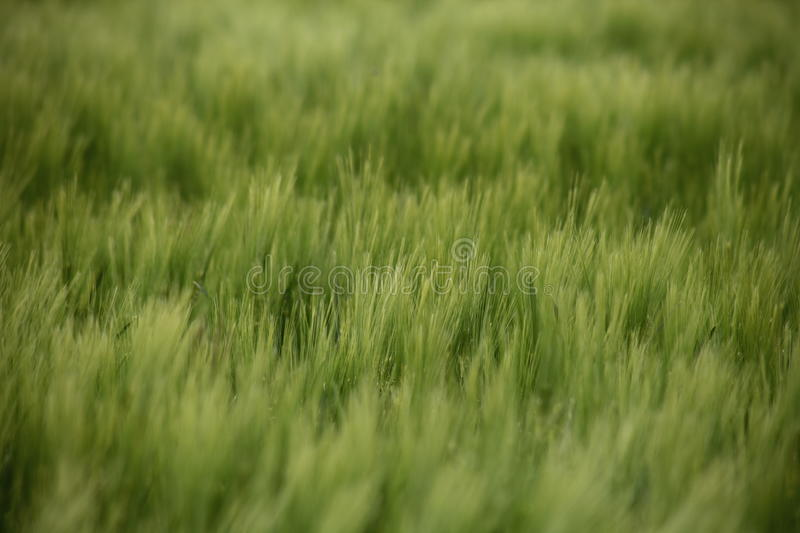Rye grass in a field. Field of rye grass in spring beautiful green color stock photography