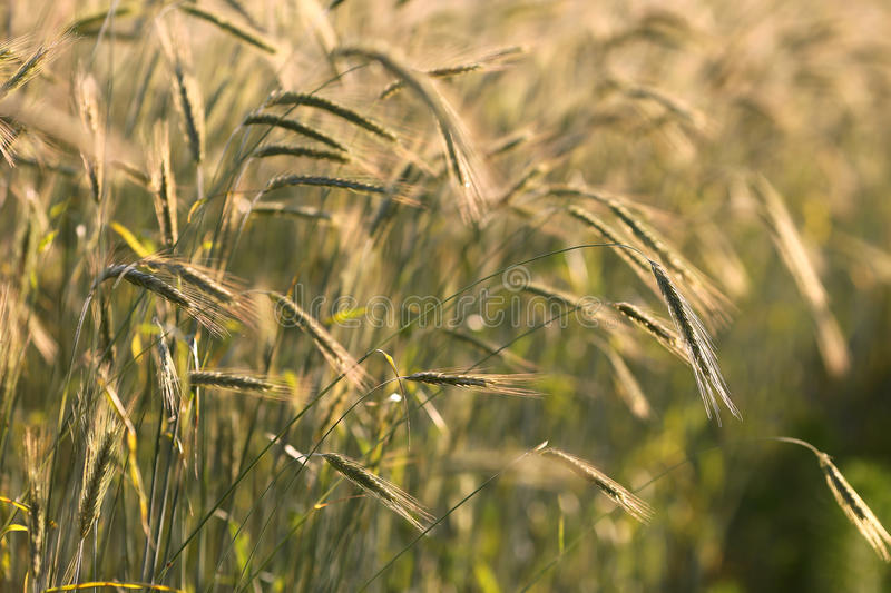 Rye Grass Grain in Field at Sunset royalty free stock photo