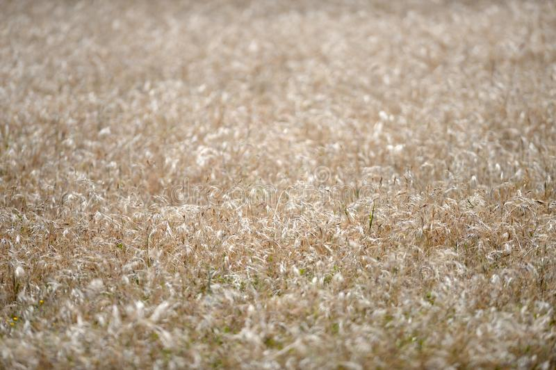 Rye Grass. A shot of an open field of Rye Grass royalty free stock photography
