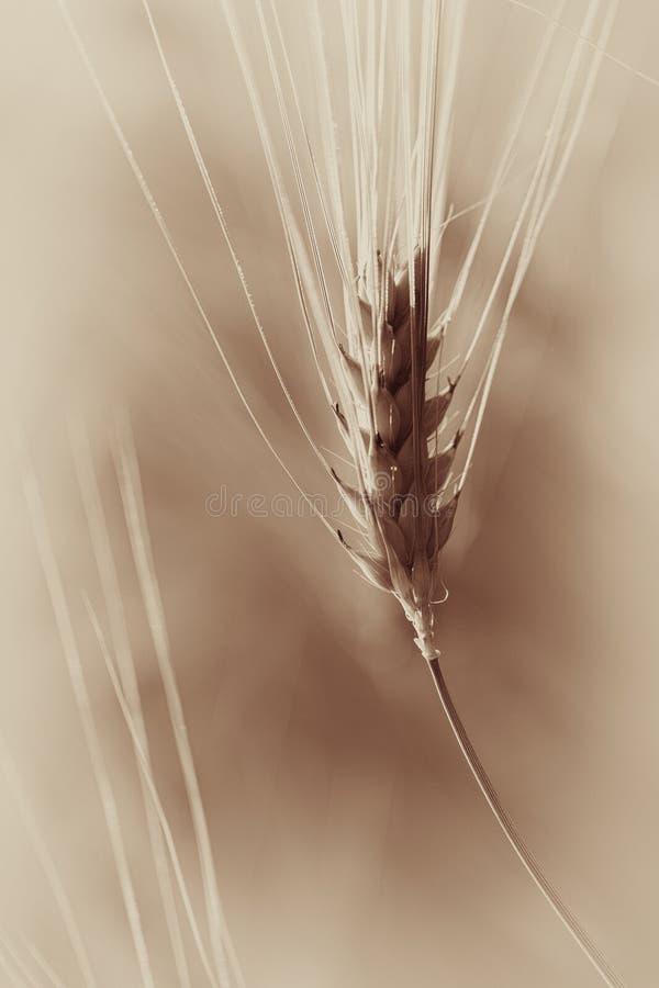 Rye - maíz - tinte anaranjado foto de archivo libre de regalías