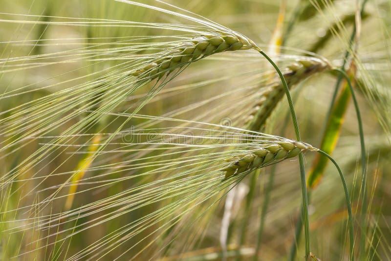 Rye - maïs photo stock