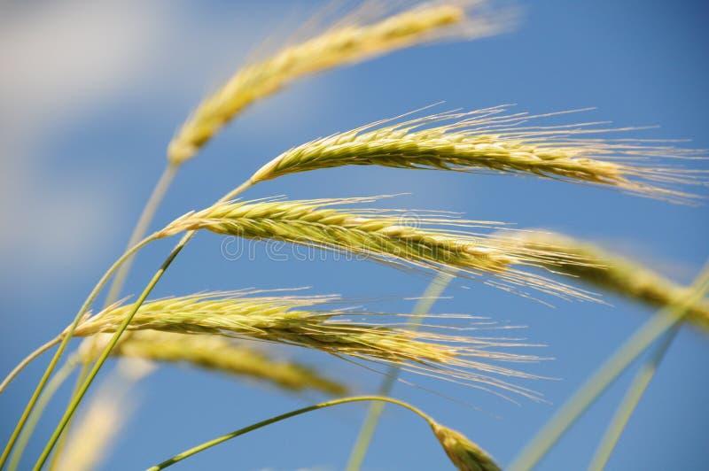 Rye nel vento immagini stock