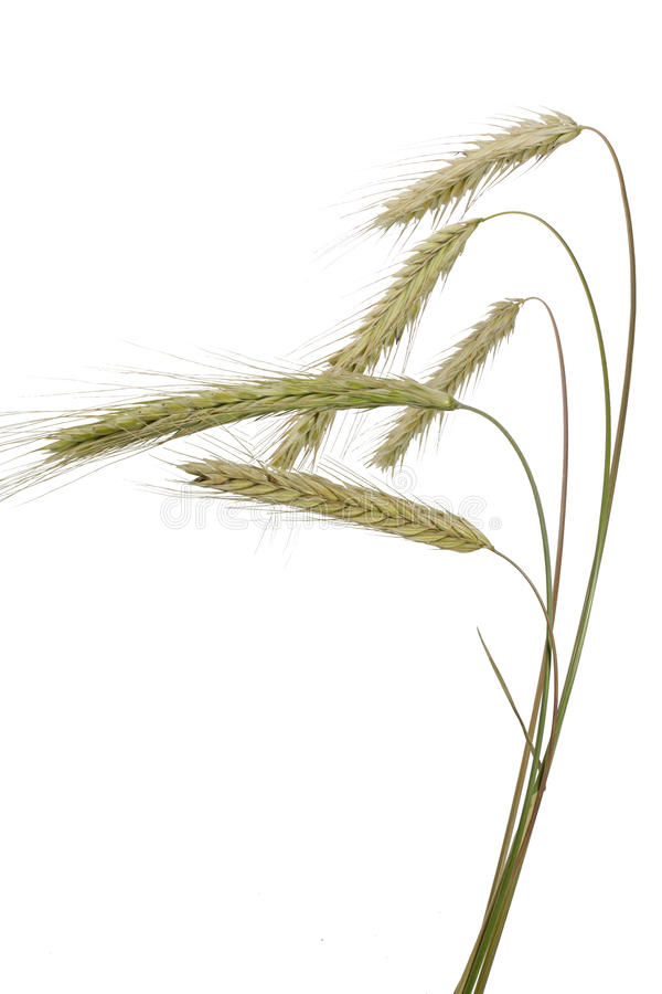 Rye (Secale cereale) on white stock image
