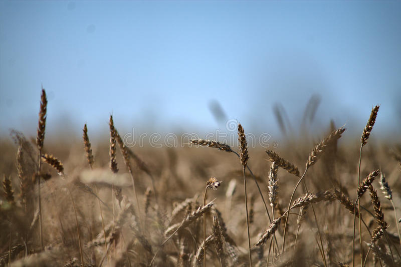Rye in the summer field stock photography