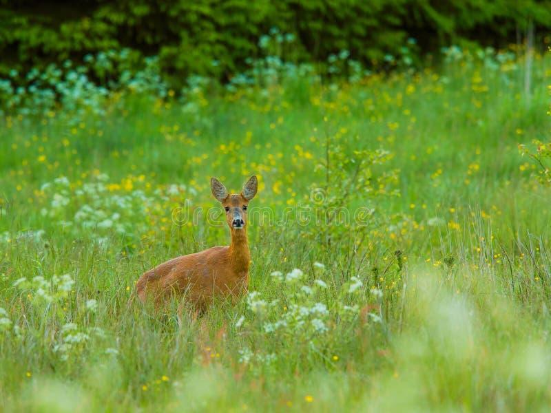 Rye um o amanhecer fotografia de stock royalty free