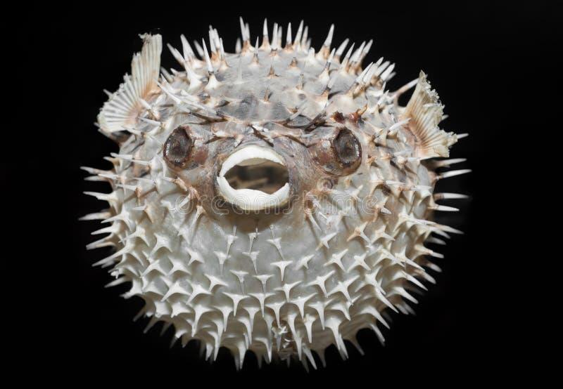 rygg för porcupinefish för diodonholocanthus lång arkivfoton