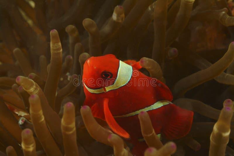 Rygg-kind Anemonefish, Perhentian ö, Terengganu arkivbild