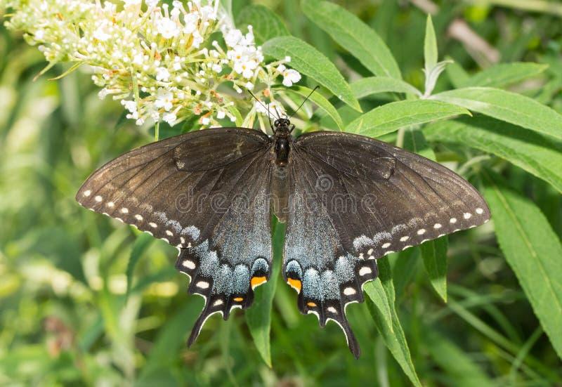 Rygg- sikt av den östliga Tiger Swallowtail för mörk morf fjärilen på den vita buddleiaen arkivfoto