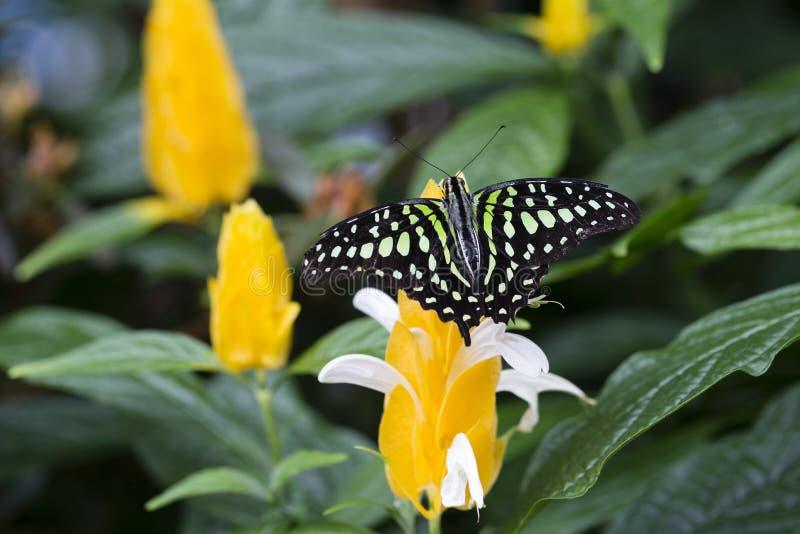 Rygg- sikt för Closeup av den gröna och svarta tailed nötskrikan royaltyfria bilder