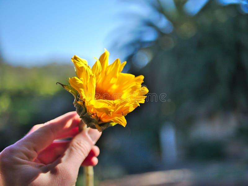 Rymma en gul solros i min hand royaltyfria bilder