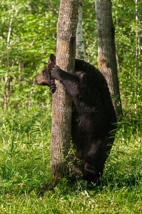 Rymmer den svarta björnen för den vuxna kvinnlign (den americanus ursusen) på till trädet arkivbild