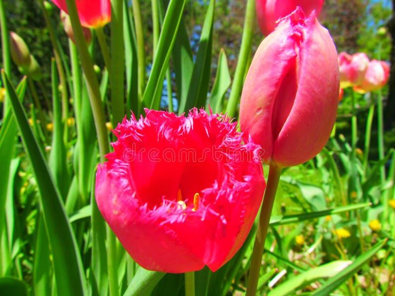 Ryschiga rosa tulpan fotografering för bildbyråer