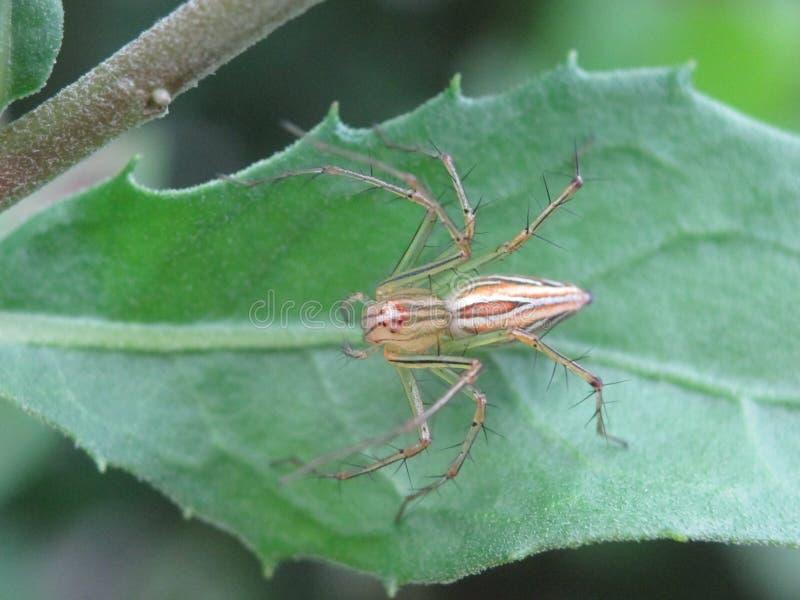 Rysia pająk na zielonym liściu obraz stock