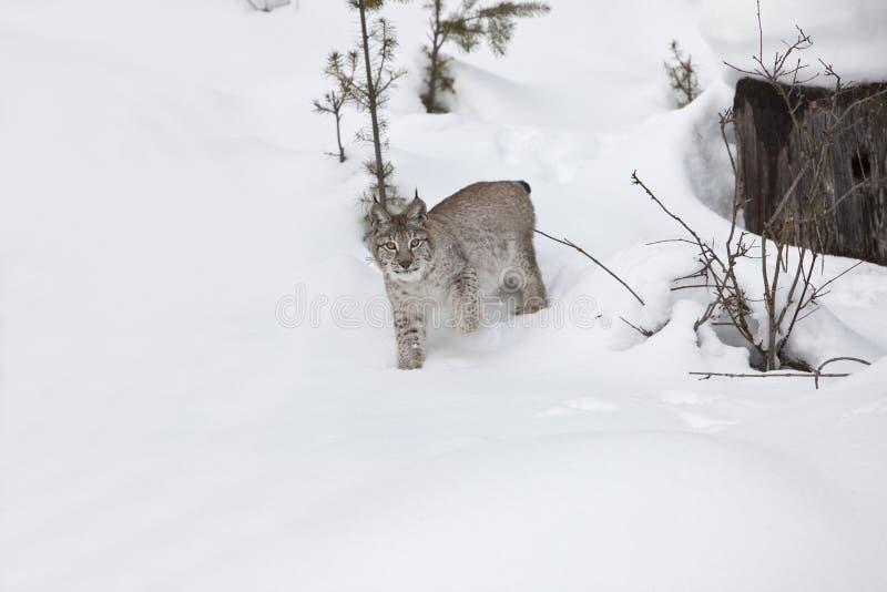 Rysia siberian śnieg