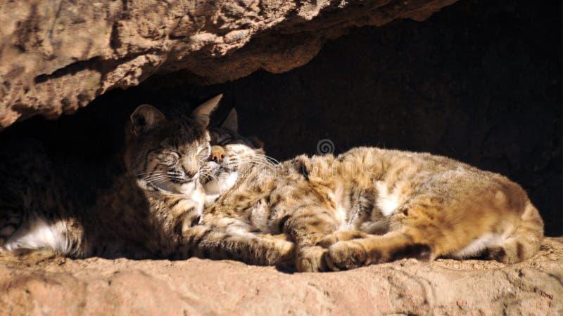 Rysie rudy Snuggling w Ciepłym Pustynnym słońcu zdjęcie royalty free