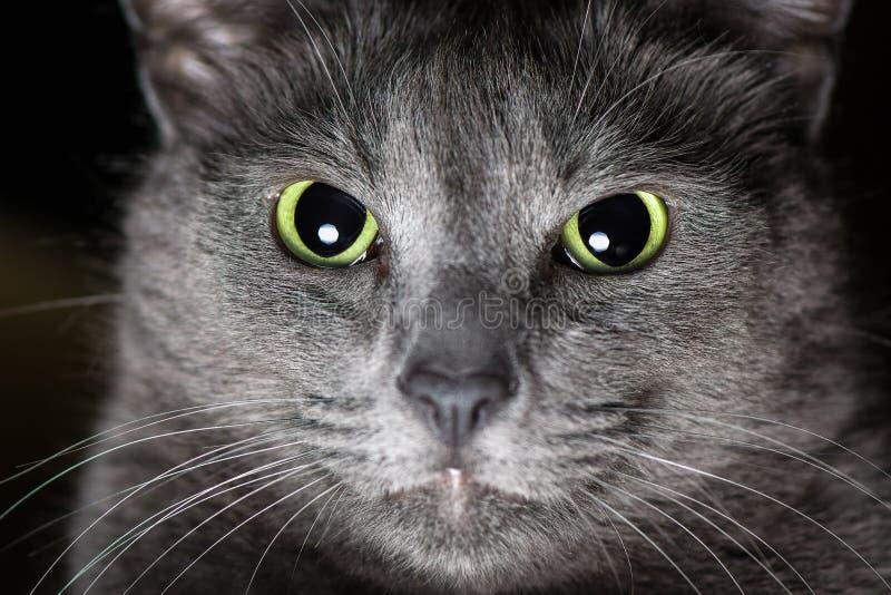 Rysk blå katt royaltyfria bilder