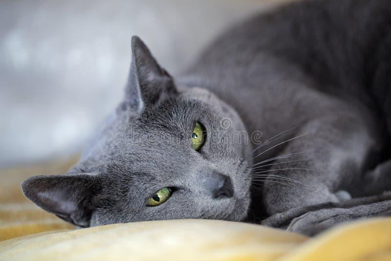 Rysk blåttkatt arkivfoton