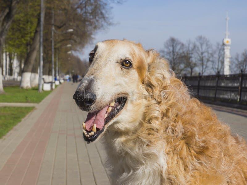 Rysk Hund-avel av den inhemska hunden arkivfoton