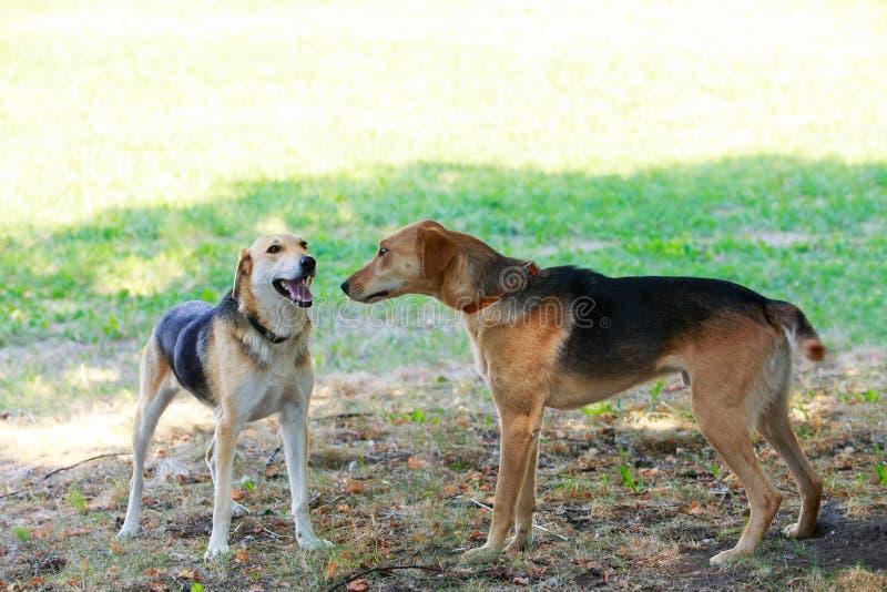 Rysk hund för hundavel arkivbilder