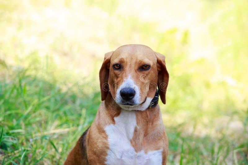 Rysk hund för hundavel royaltyfria foton