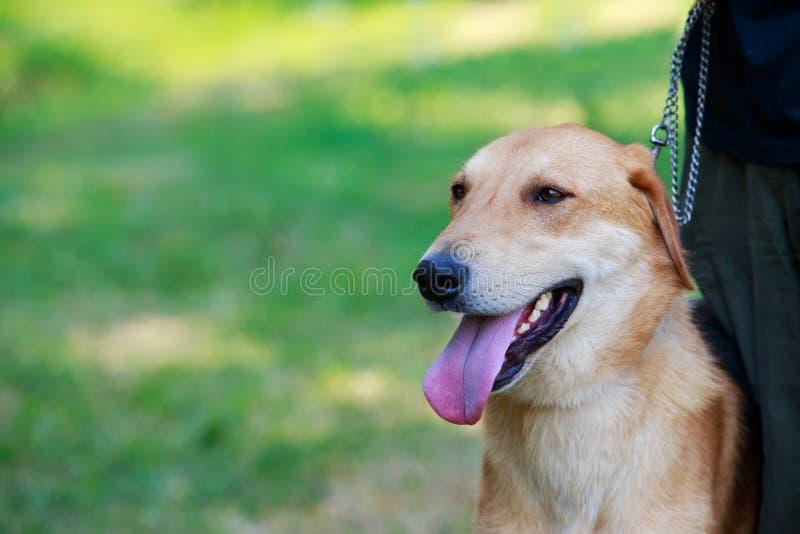 Rysk hund för hundavel arkivfoto