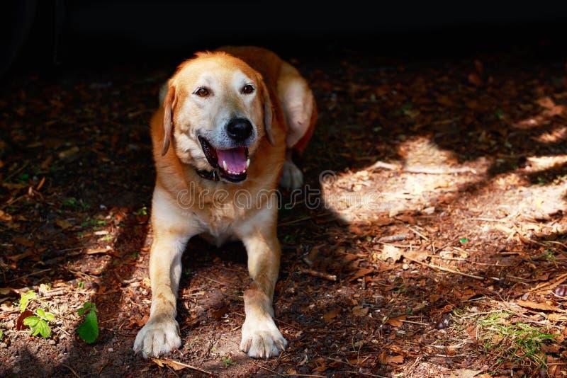 Rysk hund för hundavel fotografering för bildbyråer