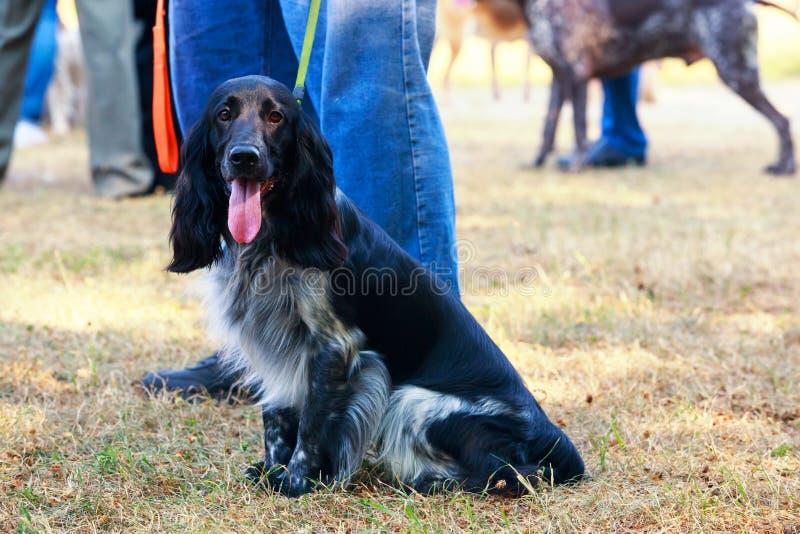 Rysk jaga spaniel för hundavel arkivfoto