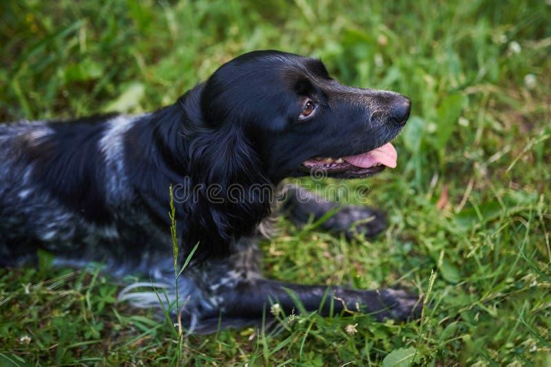 Rysk jaga spaniel som ut ligger på gräset, tunga arkivbilder