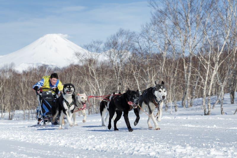 Rysk kopp av slädehunden Racing, Kamchatka slädehund Racing Beringia royaltyfri foto