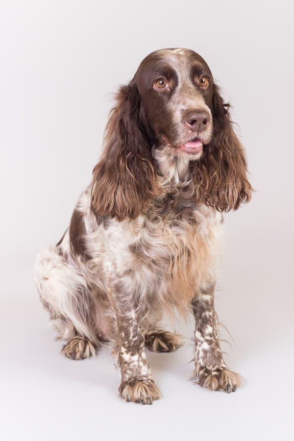 Rysk spanielhund royaltyfri bild