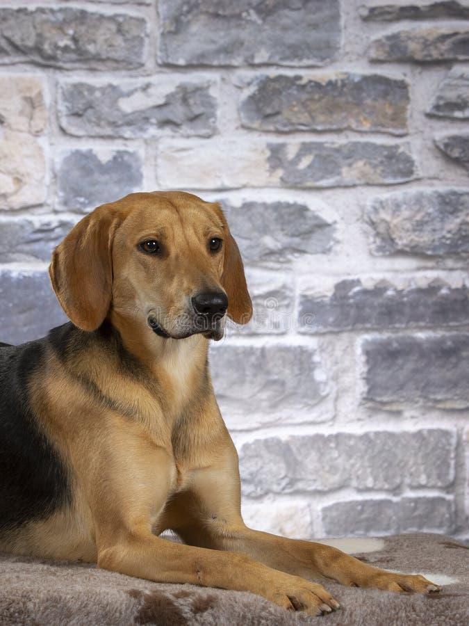 Rysk stående för hundhund i en studio royaltyfri fotografi