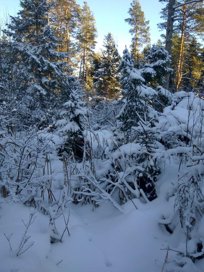 Rysk vinter skog, snö, jakt, förkylning, landskap arkivfoton