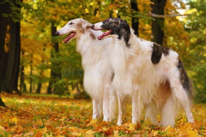 Rysk vinthund två och humandhand royaltyfri bild