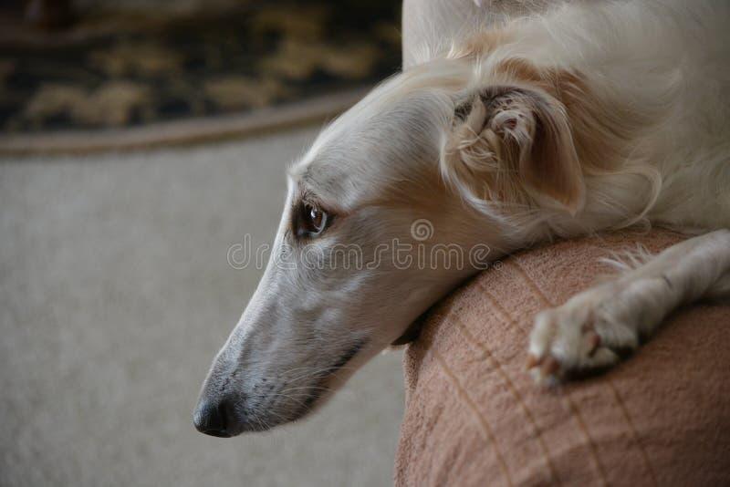 Rysk vinthundrysk vinthundkvinnlig som lägger på stolen arkivbild