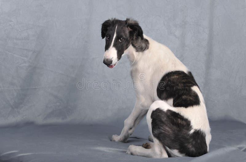 Rysk vinthundvalp royaltyfri foto