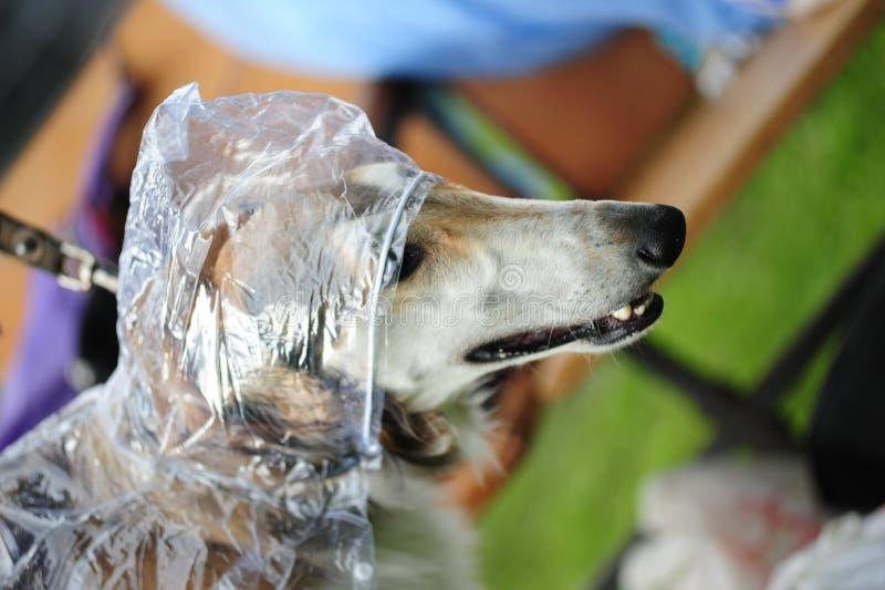 Rysk Wolfhound royaltyfri foto
