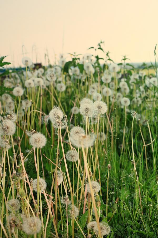 Ryskt fält med maskrosor i sommaren tidigt på morgonen royaltyfri bild