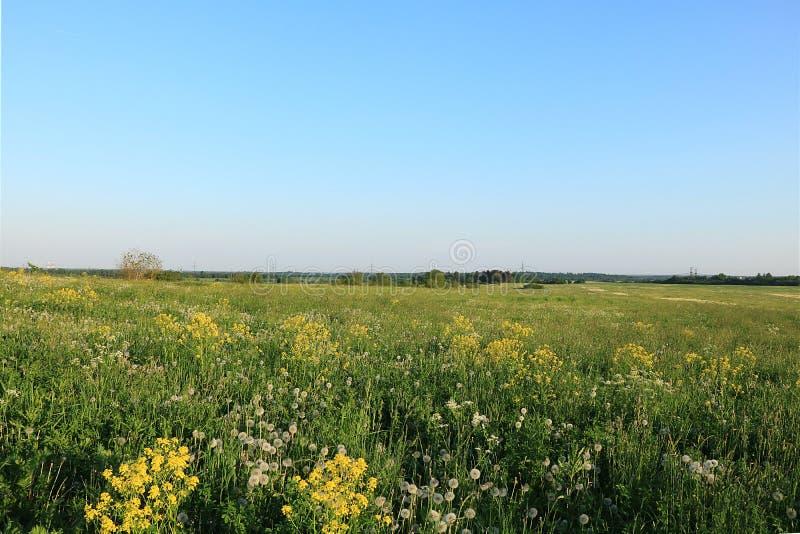 Ryskt fält med maskrosor i sommaren tidigt på morgonen royaltyfria foton