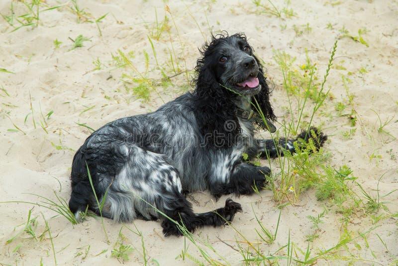 Ryskt ligga för spanielhund arkivbilder